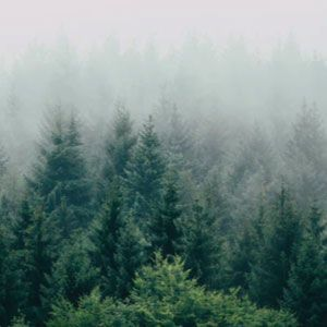 Foggy forest imagery with an abundance of trees